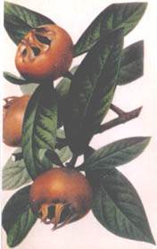 Medlar of Nottingham (Mespilus germanica)